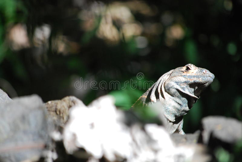 Curious Iguana Looking at Us. Blurry background curious Iguana Looking at Us over the rocks in Costa Rica royalty free stock images