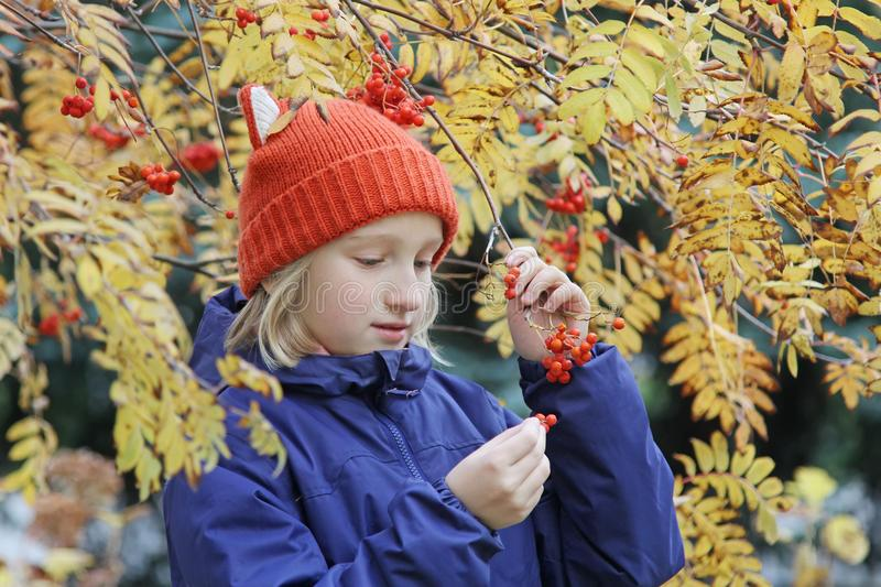 Curious kid girl collects rowan berries from the branch. Child is dressed in a funny knitted warm hat with ears, looks like a fox. stock photo