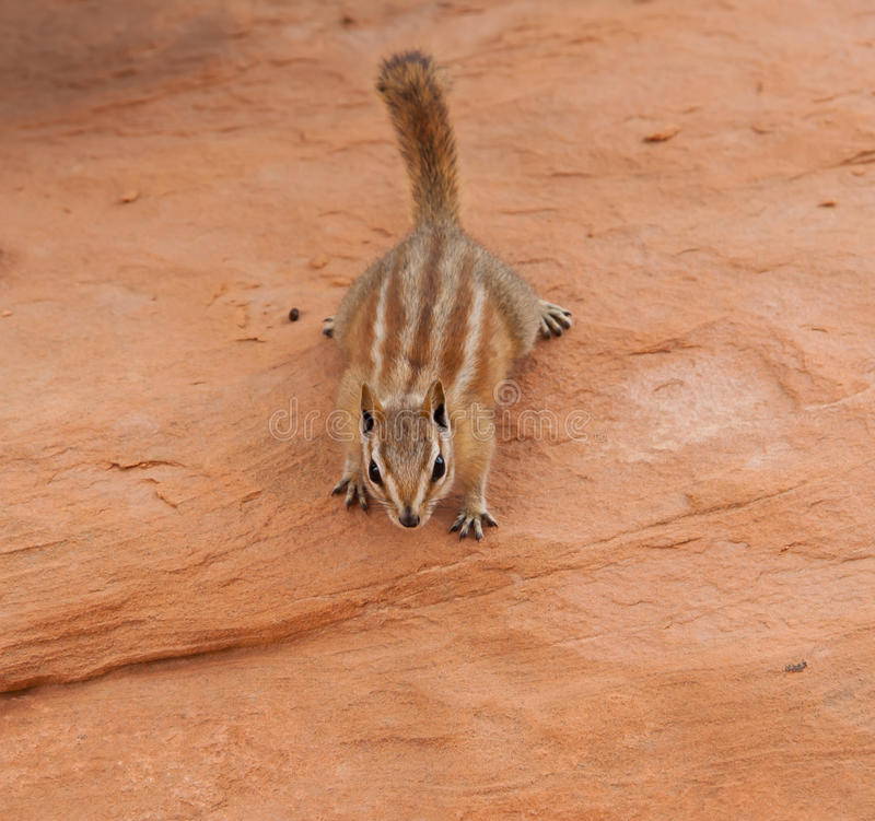 Curious little chipmunk. A curious little chipmunk looking around the area for any food scraps stock images
