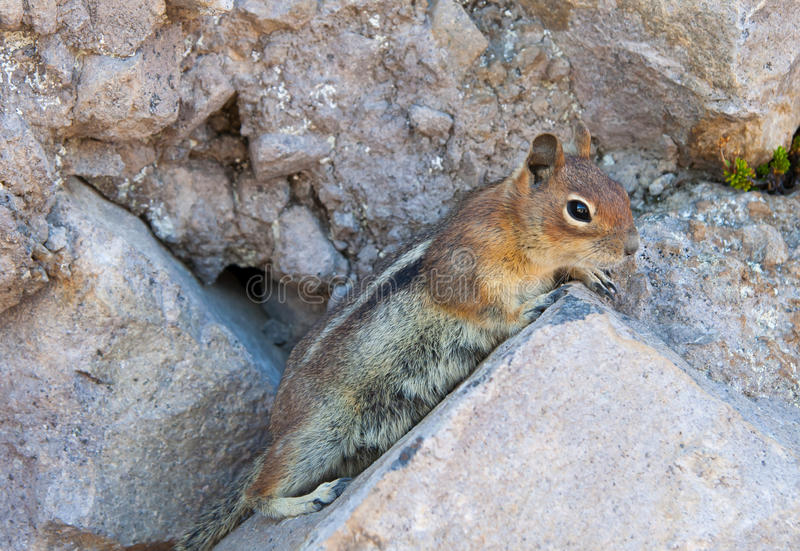 Download Curious little chipmunk stock image. Image of cute, striped - 34477479
