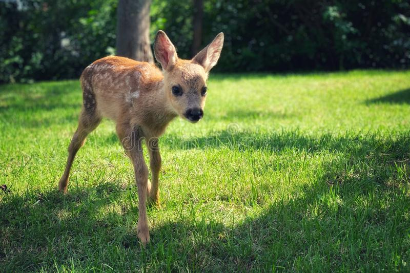Curious little dear at meadow royalty free stock photo