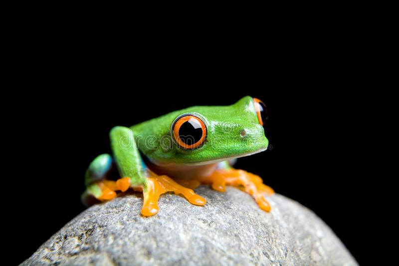 Curious little frog isolated on black stock images