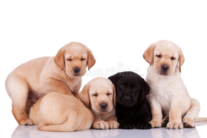 Curious little labrador retriever puppies royalty free stock photo
