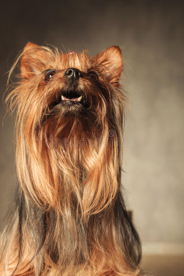 Curious little yorkshire terrier puppy dog looking up. Curious little yorkshire terrier puppy dog looking at something up with mouth open in studio stock photography