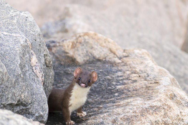 Curious Long-tailed Weasel stock photo