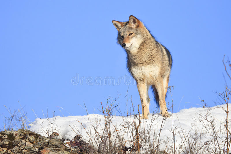 Curious looking coyote stock image