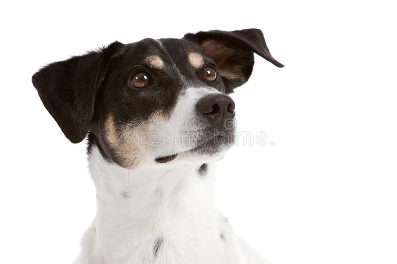 Curious looking dog royalty free stock image