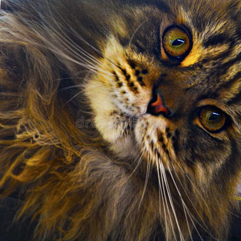 Curious Maine Coon Cat investigates the camera. Revealing oranges, yellows and greens in its eyes. The Maine Coon is the largest domesticated cat breed. It has stock photo