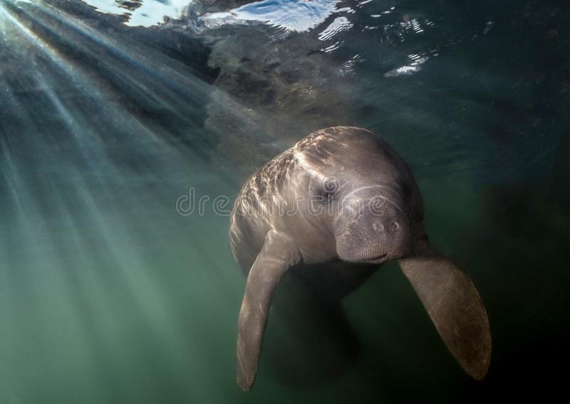 Curious Manatee illuminated b sunbeams. This curious manatee kept bumping into me trying to see it`s reflection in the dome of my camera. During the winter stock photo