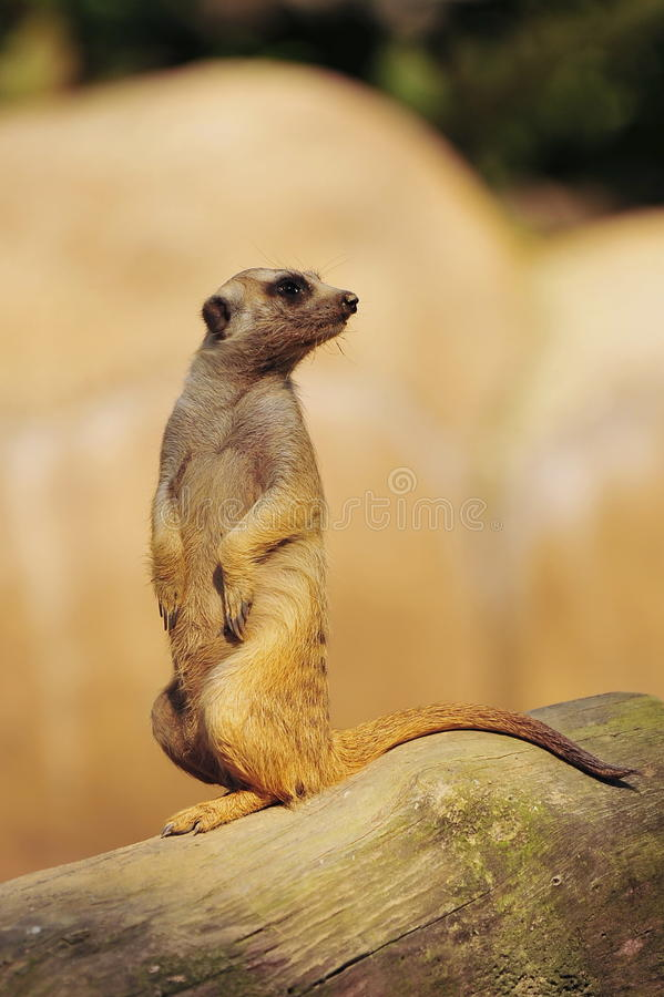 Curious Meerkat Royalty Free Stock Photo