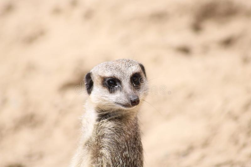Curious meerkat in front of sand dune stock photography