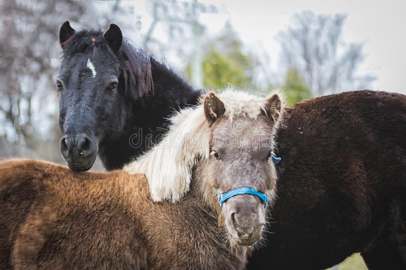 Curious miniature horses in colour royalty free stock photography