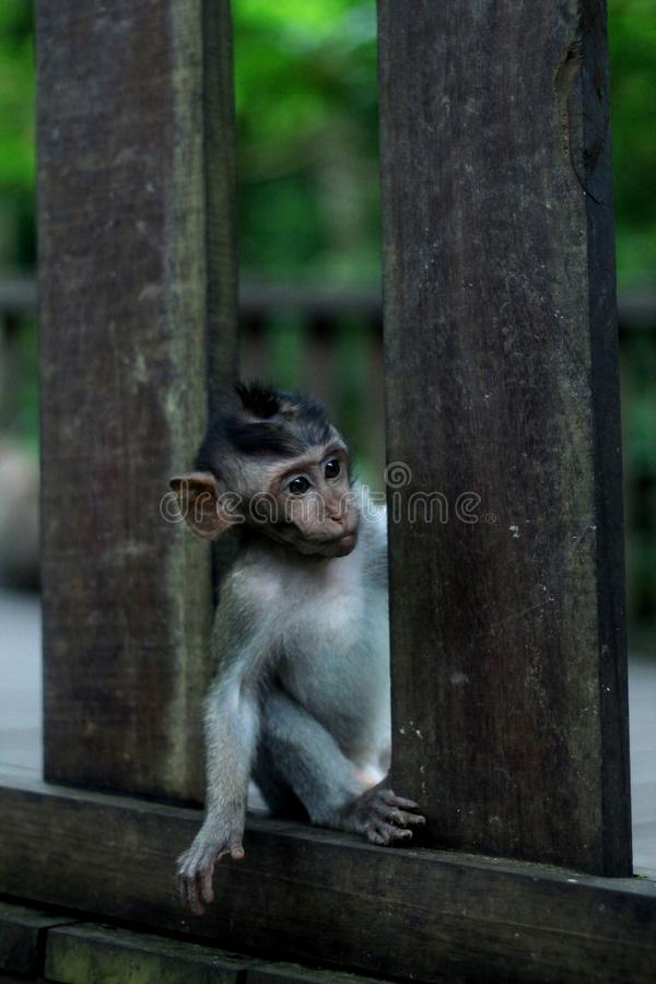 Curious Monkey royalty free stock photography