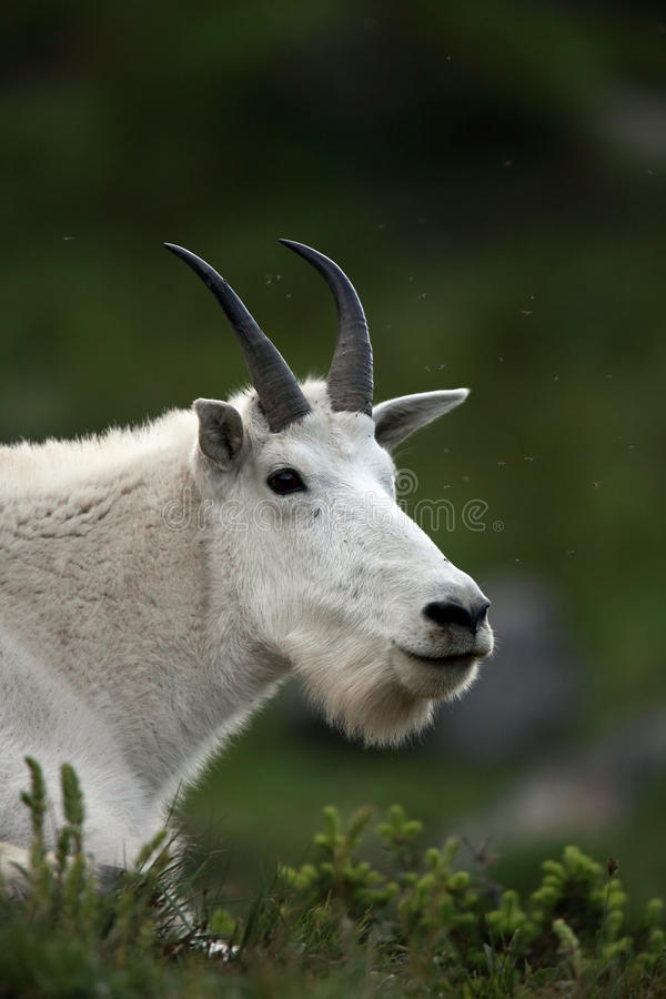 Download Curious Mountain Goat stock photo. Image of staring, watching - 15840754