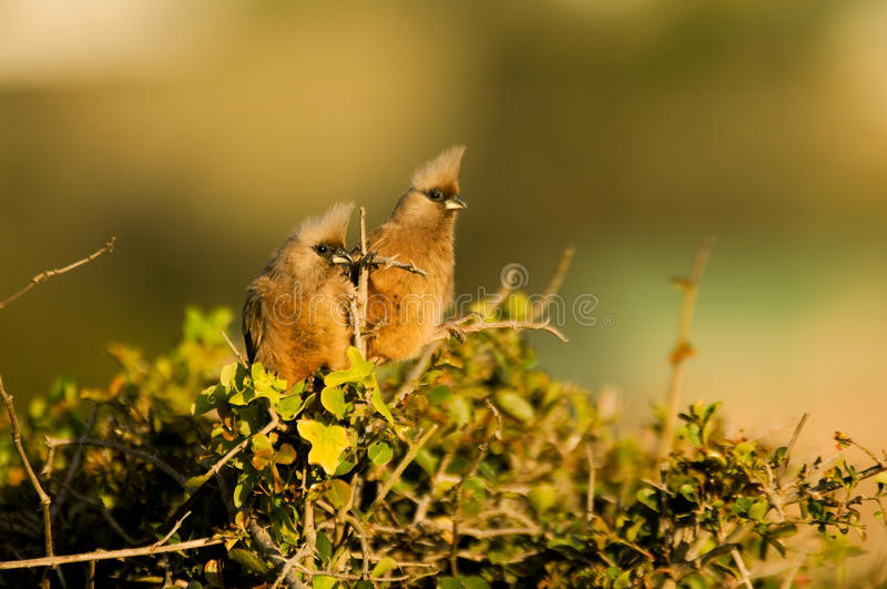 Download Curious mousebirds stock photo. Image of bird, green - 35986810