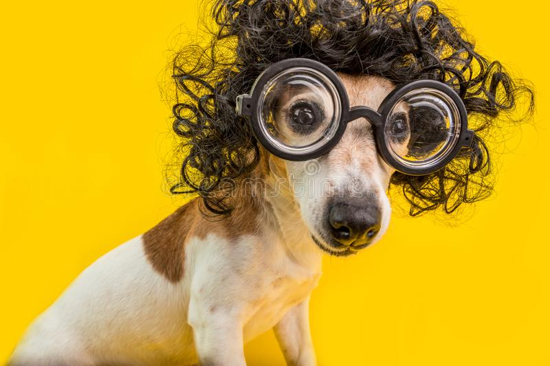 Curious nerd smart dog face in round professor glasses and curly black afro style hairstyle. Education. Yellow. Background. Back to school pet royalty free stock photo