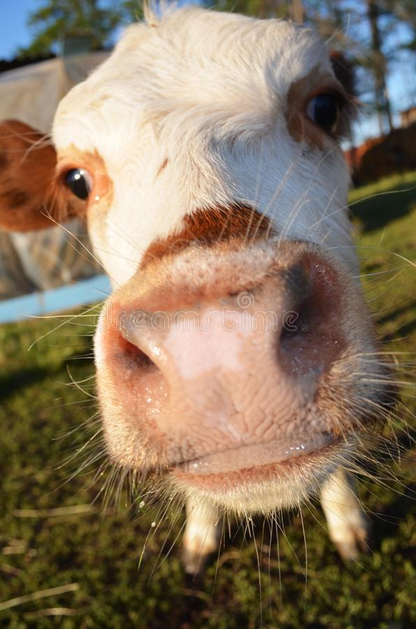 The little beautiful Nothern calf stock image