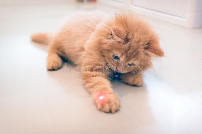 Curious Orange Kitten Plays with a Red Dot from a Laser Pointer stock image