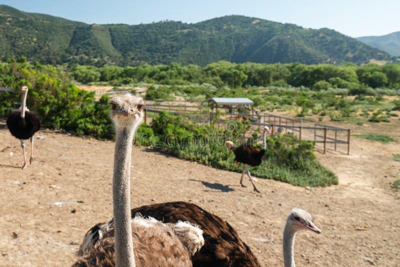 Curious Ostrich, Ostrich Farm, California stock photo