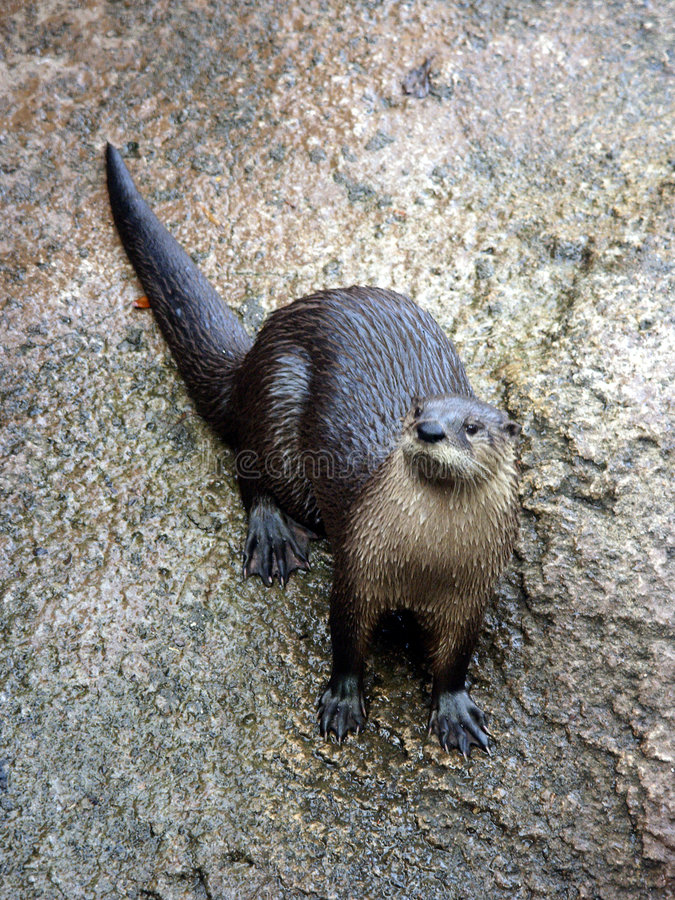 Curious Otter royalty free stock image