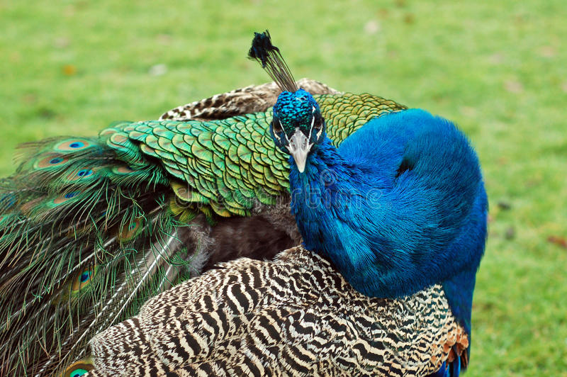 Download Curious peacock stock image. Image of animal, bright - 12574237