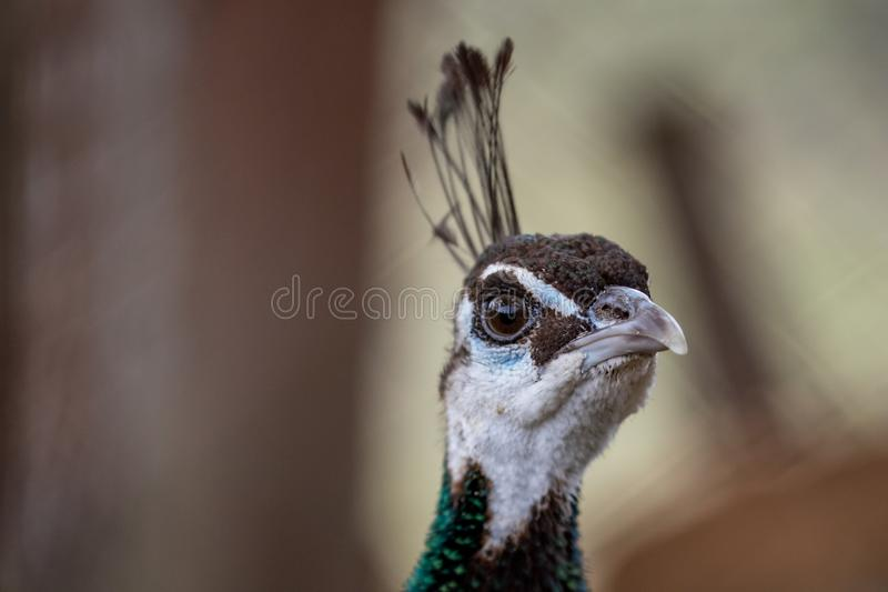 Curious peacock, close-up portrait with an eye royalty free stock image