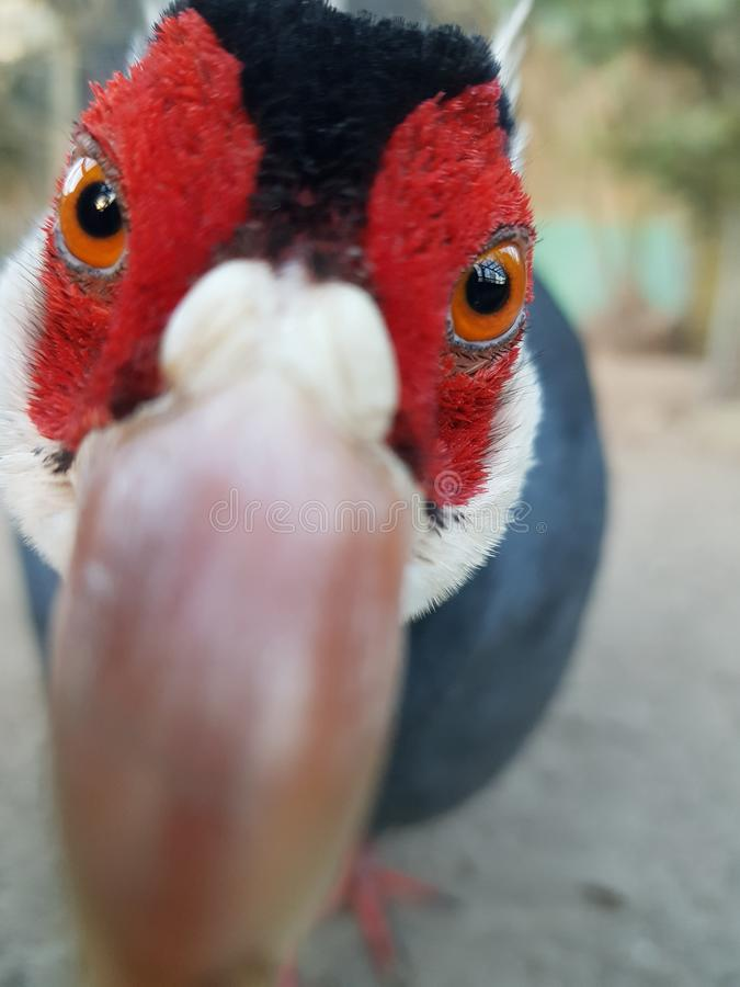 Curious pheasant stock photos