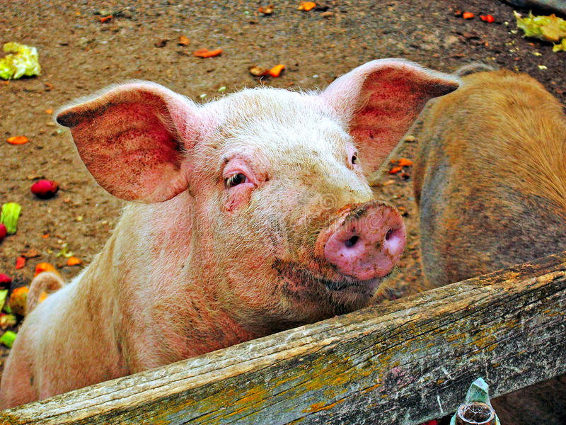 Curious pig royalty free stock photo