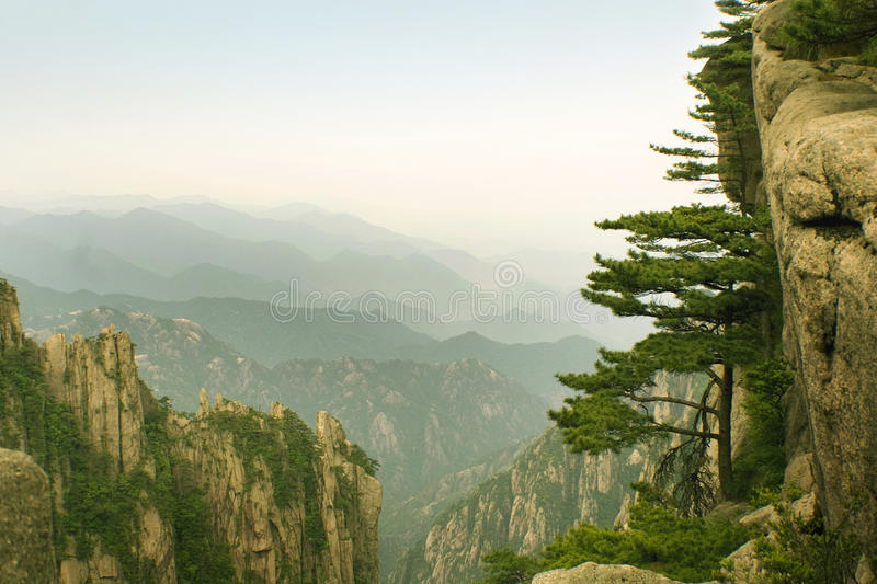 Curious pine tree on the side of mountain, china royalty free stock images