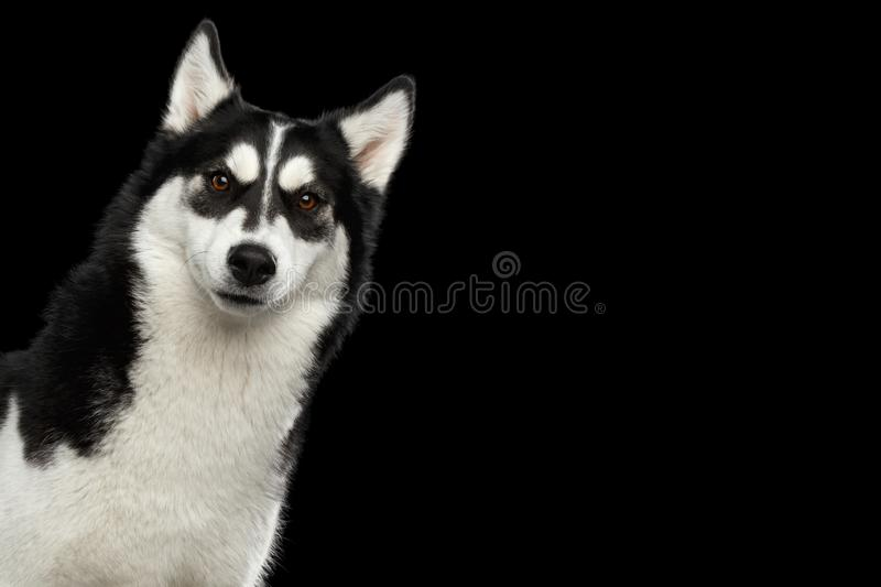 Siberian Husky Dog with funny eyebrows on Isolated Black Background. Curious Portrait of peeking Siberian Husky Dog with Funny eyebrows Gazing on Isolated Black stock images