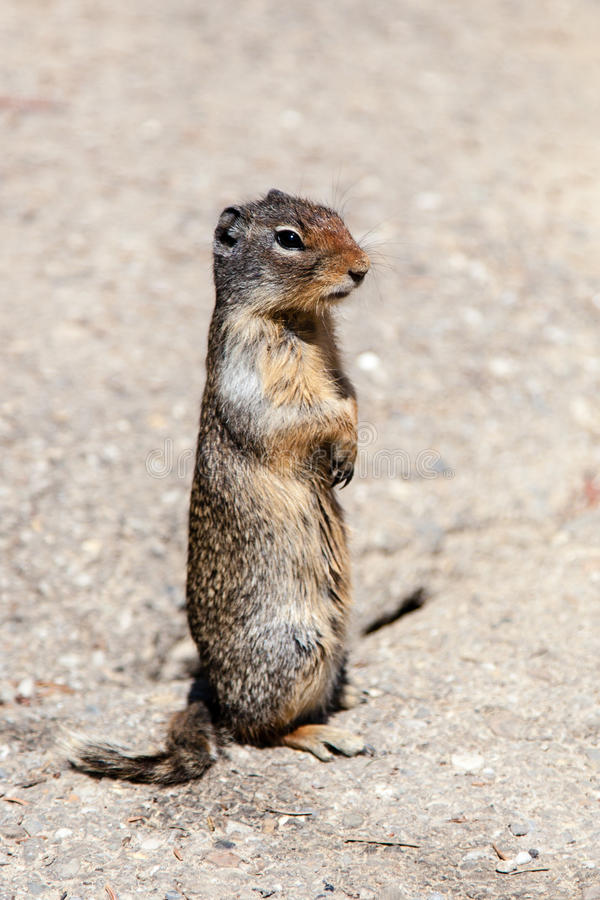 Download Curious Prairie Dog (Cynomys) In Banff Stock Photo - Image: 43124511