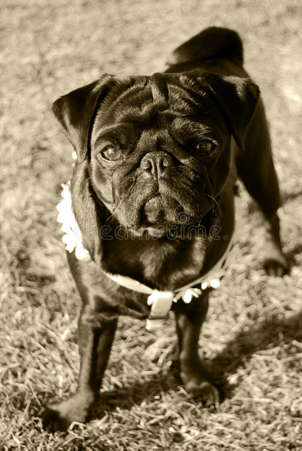 Download Curious pug stock photo. Image of pugs, sepia, interest - 8534394