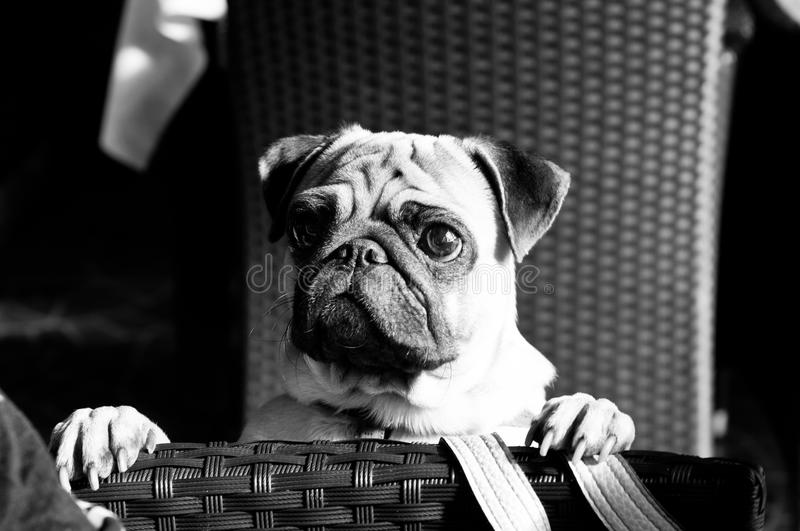 Download Curious pug dog stock photo. Image of domestic, puppy - 27087218
