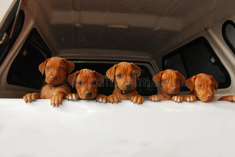 Curious puppies. Five cute little Rhodesian Ridgeback hound dog puppies from the same litter looking out of the back window of a vehicle royalty free stock photos