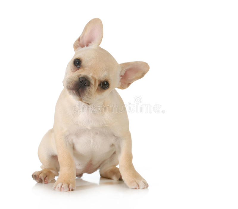Curious puppy royalty free stock photo
