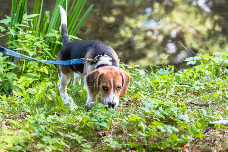 A curious puppy watching a peaceful summer landscape. Tricolor Beagle puppy on a walk along the pond in the city Park. stock photography