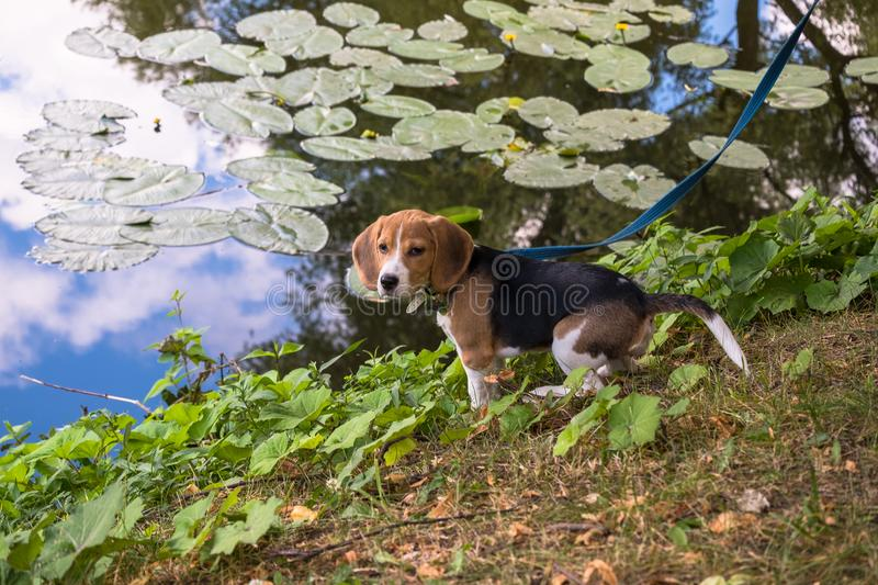 A curious puppy watching a peaceful summer landscape. Tricolor Beagle puppy on a walk along the pond in the city Park. stock photo