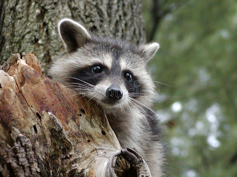 Download Curious Raccoon stock photo. Image of mask, animal, wild - 208762