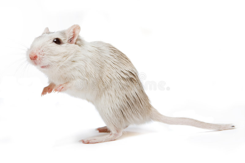 Download Curious rat stock photo. Image of sweet, rodent, rats - 5061588
