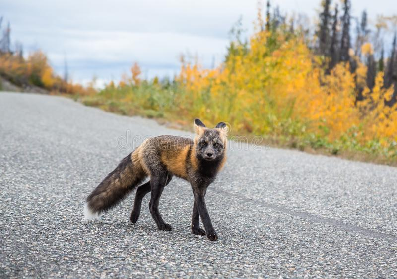 Curious Red Fox walking down the Cassiar Highway. Curious red fox investigating humans on the Cassiar Highway on the road to Alaska in autumn stock photos