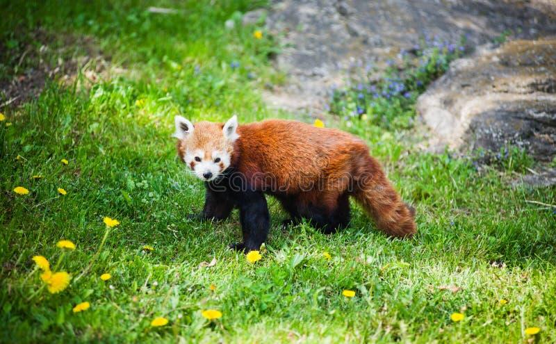 Curious Red Panda Stock Photos