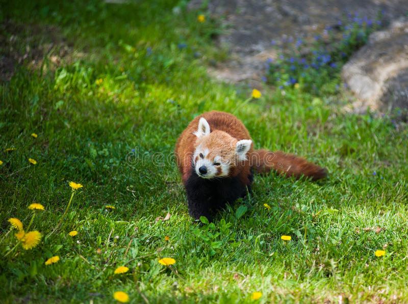 Download Curious red panda stock photo. Image of america, lesser - 25386406