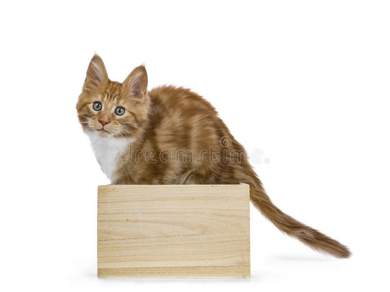 Curious red white maine coon kitten. Standing in wooden box looking at camera isolated on white background royalty free stock photography