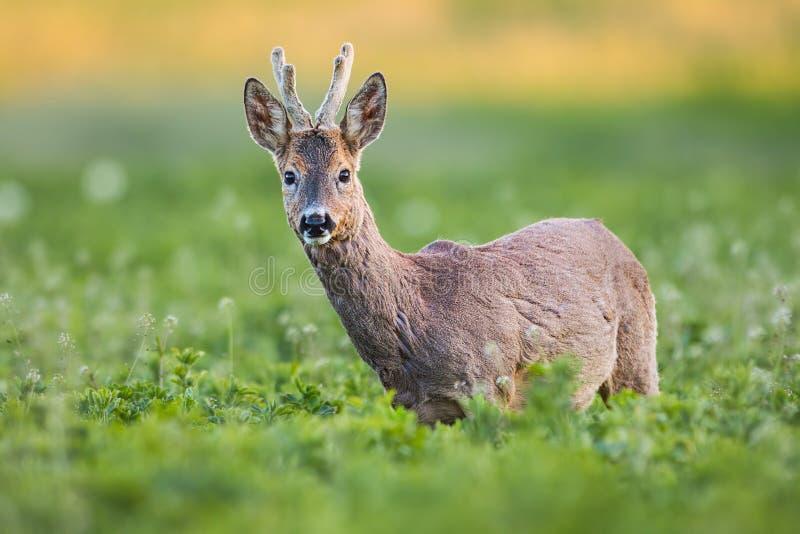 Curious roe deer, capreolus capreolus, buck in spring standing on fresh green field. stock photos