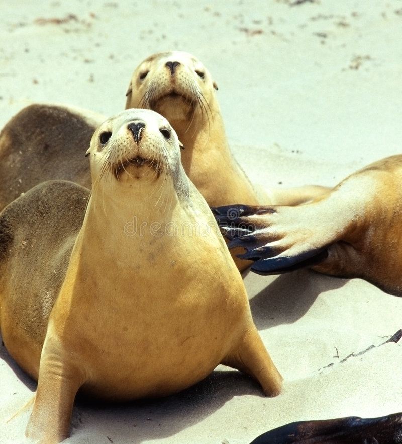 Download Curious sea lion stock photo. Image of rest, marine, friendly - 8230412