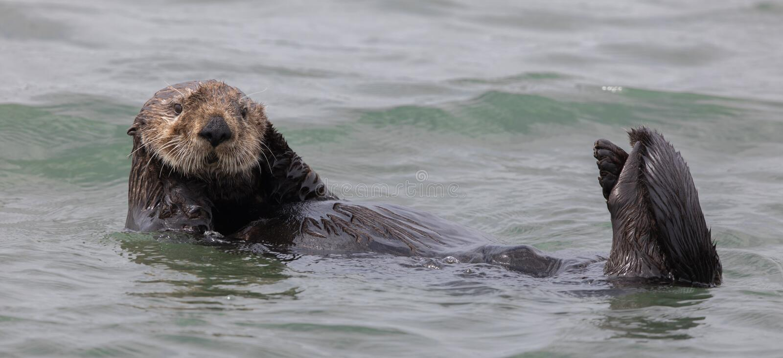 Curious Sea Otter Enhydra lutris floating in Monterey Bay of the Pacific Ocean. royalty free stock image