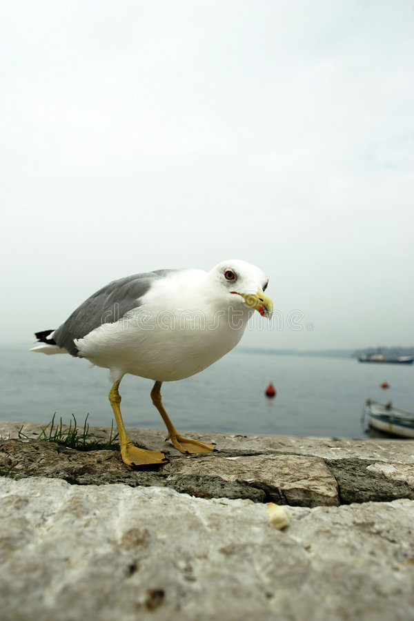 Free Curious Seagull Royalty Free Stock Photos - 1454058