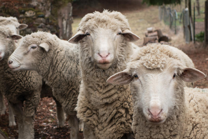 Curious Sheep. In a farm yard close-up royalty free stock photography