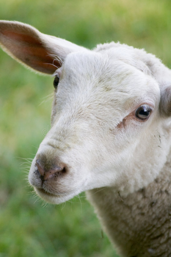 Curious Sheep. A curious sheep stands with head slightly tilted, looking at you stock images