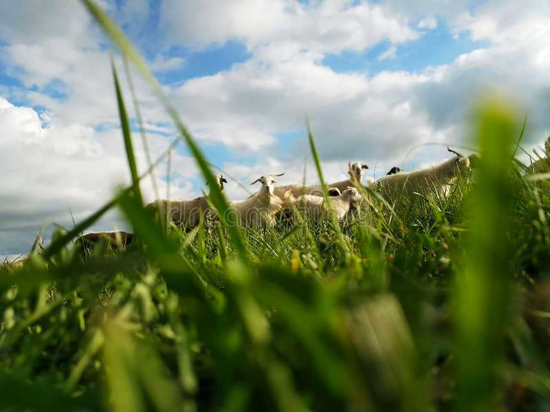 Curious sheep dare not graze royalty free stock photo